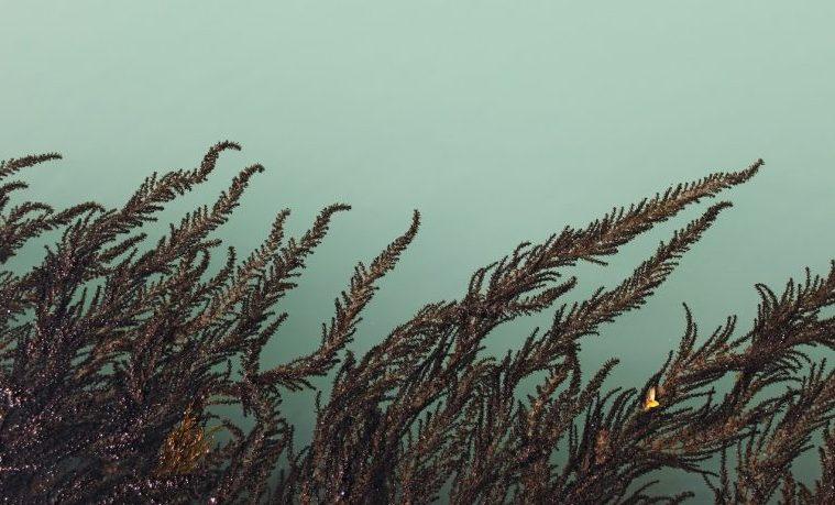 Los gigantes bosques submarinos de la Patagonia resisten al cambio climático