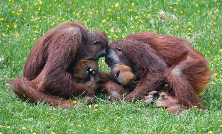 """¿Los grandes simios son """"personas""""? La idea se abre camino"""