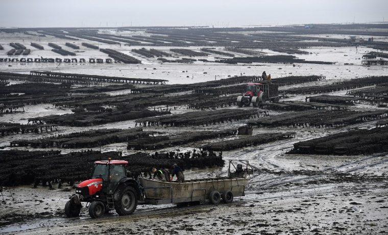 El cambio climático debilita a las ostras