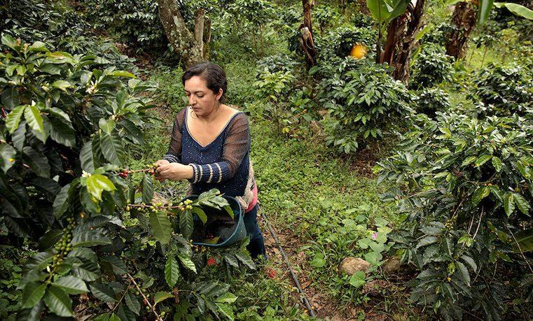 Cultivando café y sembrando paz en Colombia