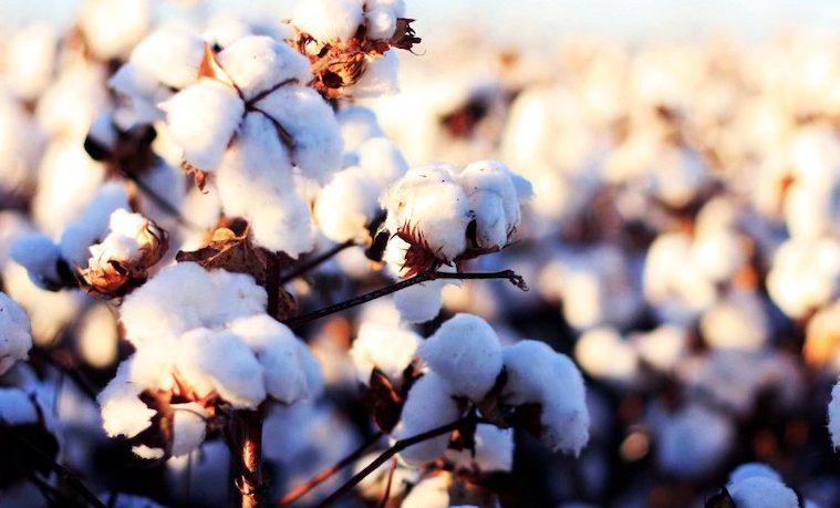 algodón WFP