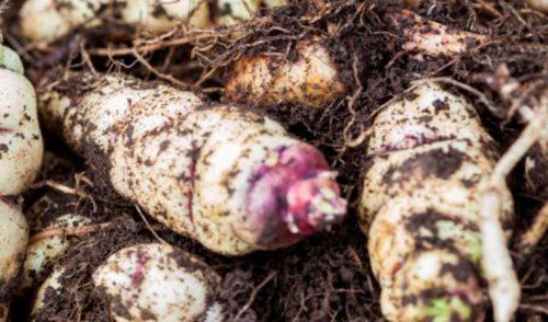Plantas nativas subutilizadas de Colombia: ¿de qué nos hablan?